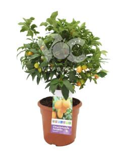 kumquat-10l-arbustivo-vivercid-242x300