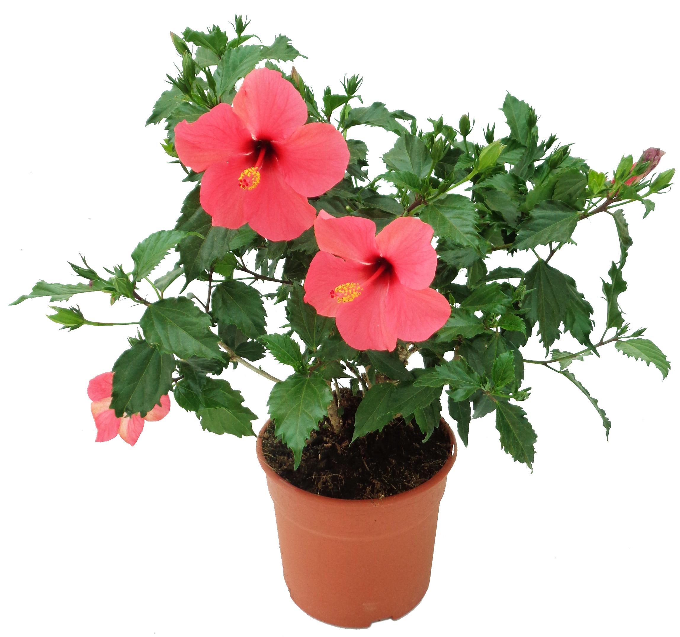 hibiscus-rosa-sinensis-rosa-flor-simple-5-litros