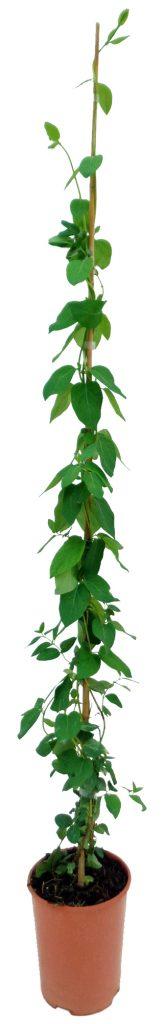 lonicera-japonica-madreselva-3l