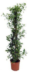 Foto de planta de trachelospermum jasminoides o falso jazmín en maceta de 5 litros y en forma de pirámide con tres cañas