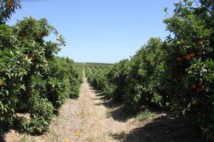 Plantación de Barberina perteneciente a Jaime Genesca (Ganador del concurso).