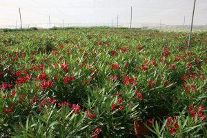 Nerium-oleander-Vivercid