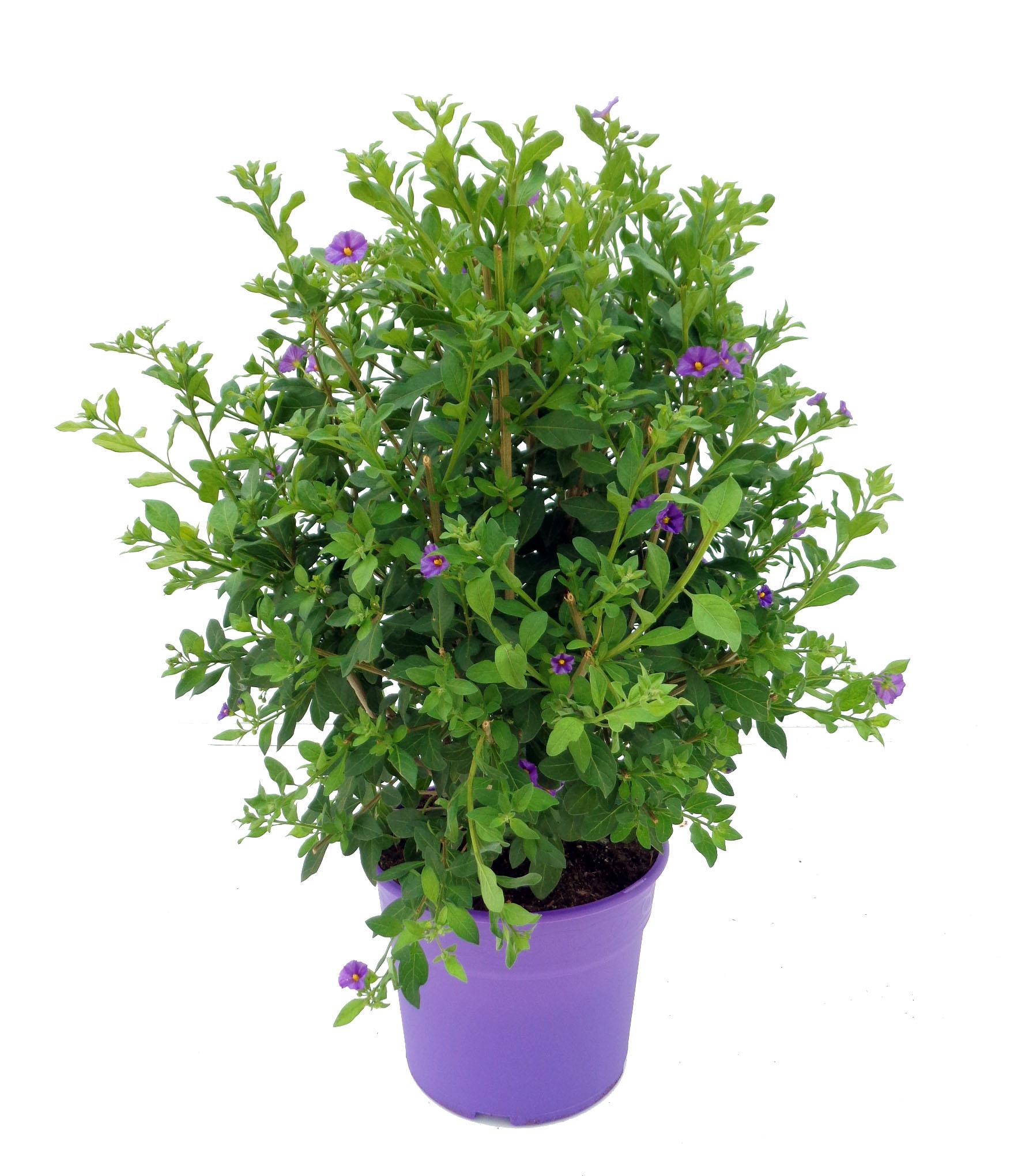 Solanum rantonetti 5L