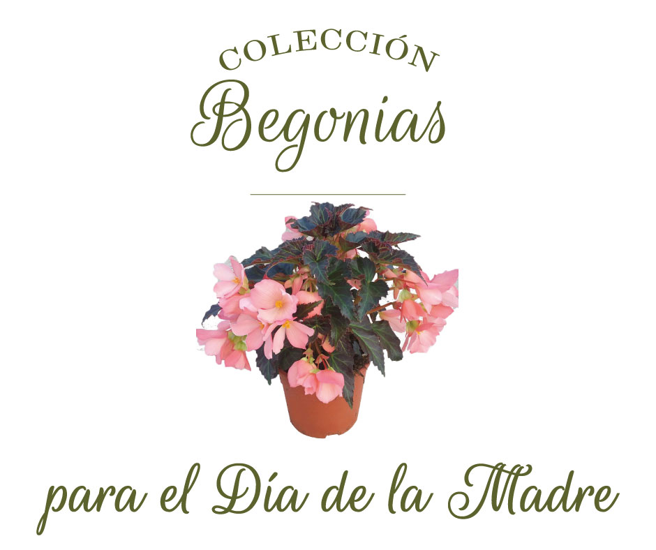 begonias-dia-de-la-madre